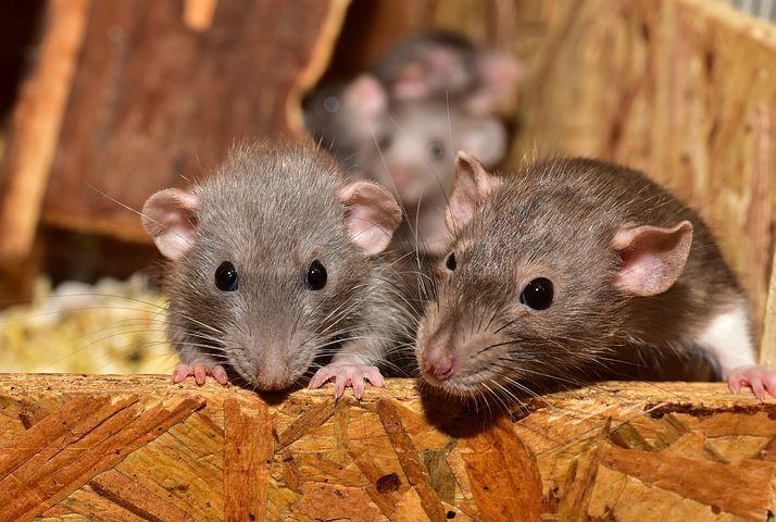 सपने में चूहा, sapne me chuha,  सपने में चूहा देखना, sapne me chuha dekhna,  सपने में चूहा पकड़ने का मतलब, sapne me chuha pakadne ka matlab,  सपने में चूहा का बच्चा देखना, sapne me chuha ka baccha dekhna,  सपने में चूहा भागते देखना, sapne me chuha bhagte dekhna,  सपने में चूहा को भगाना, sapne me Chuha ko bhagana,  सपने में चूहा देखने का मतलब, sapne me chuha dekhne ka matlab,  सपने में चूहा पकड़ना, sapne me chuha pakadna,  सपने में चूहा काटना, sapne me chuha katna, सपने में चूहा का काटना, sapne me chuha ka katna,  सपने में चूहा का देखना, sapne me chuha ka dekhna,  सपने में चूहे के बच्चे देखना, sapne me chuhe ke bacche dekhna,  सपने में चूहे के बच्चों को देखना, sapne me chuhe ke bachche dekhna,  सपने में चूहा के बच्चे देखना सपने में चूहे के बच्चे सपने में safed चूहा देखना, sapne me safed chuha dekhna,  सपने में चूहा देखना शुभ या अशुभ, सपने में चूहा देखना क्या होता है, सपने में चूहा देखना कैसा होता है, सपने में चूहा देखना क्या मतलब, सपने में चूहा देखना कैसा रहता है, सपने में चूहे देखना, sapne me rat dekhna,  सपना में चूहा देखना, सपने में चूहों का देखना, सपने में चूहा देखना का मतलब, sapne me rat dekhne ka matlab, सपने में चूहे का देखना, सपने में चूहे देखना कैसा होता है, सपने में काला चूहा देखना, सपने में सफेद चूहा देखना क्या होता है